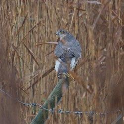 A sparrow hawk seen at Cley Marshes