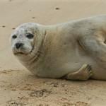 Norfolk Seal