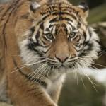 Tiger at Thrigby Hall