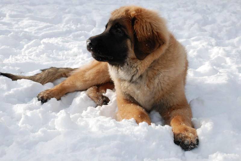 Brodie -puppy winter