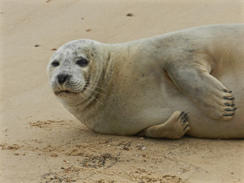 Norfolk Seal