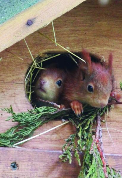 PNP squirrels  Credit Darren Williams