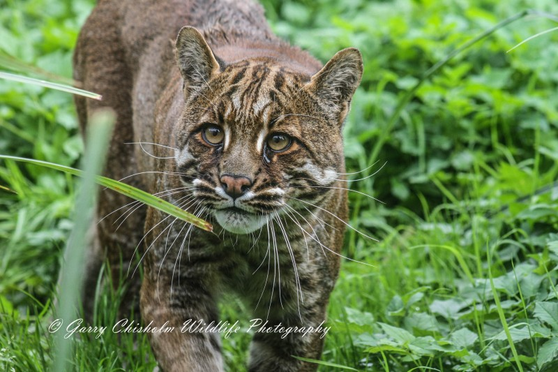 Temminck's Cat at Thrigby