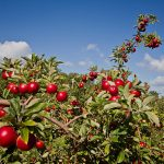 Apples at Drove Orchards